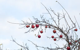 Winter apple tree with fruits Royalty Free Stock Image