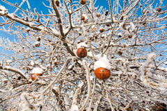 Winter Apples Stock Images