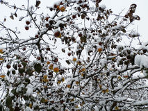Winter apples Royalty Free Stock Images