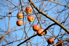 Winter apples Royalty Free Stock Image