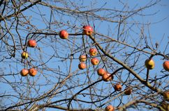 Winter apples. Still on the trees in freezing temperatures, Vienna, Austria royalty free stock photo