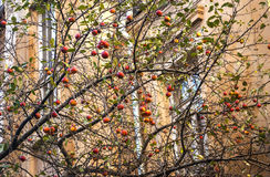 Winter apples on tree branches Stock Photos