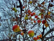 Winter apples. Apples under snow Royalty Free Stock Image