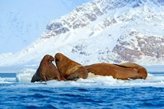 Winter Arctic landscape with big animal. Family on cold ice. Walrus, Odobenus rosmarus, stick out from blue water on white ice wit. Winter Arctic landscape with Stock Photo