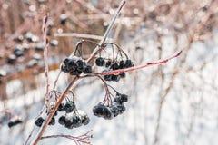 Frozen Winter Aronia royalty free stock image
