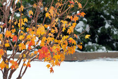 Winter arrives early. Winter precipitation arrives early, covering tree leaves with soft white wet heavy snow royalty free stock photography