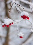 Winter arrowwood. Branches of a arrowwood with berries under snow Royalty Free Stock Photography