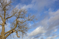 Winter ash tree. A bare winter ash tree with patterned bark and contorted branches under a blue sky with dramatic clouds stock photos