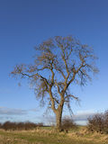 Winter ash tree. A mature ash tree latin name fraxinus excelsior in a winter hedgerow Royalty Free Stock Photo