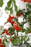 Winter ashberry. Red ashberry at winter time under the snow Stock Photo