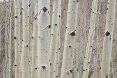 Winter Aspen Tree Forest Royalty Free Stock Photo