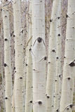 Winter Aspen Tree Forest Portrait Royalty Free Stock Photos