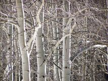 Winter Aspen Trees Royalty Free Stock Image
