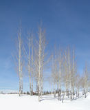 Winter aspens Royalty Free Stock Photos
