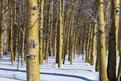 Winter Aspens Stock Photography