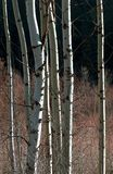 Winter Aspens. A grove of young Aspen trees after the leaves fell Stock Photos