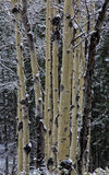 Winter Aspens. Aspens grouped tight together with snow on them in the Wasatch mountains of Utah USA Royalty Free Stock Images