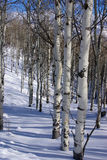 Winter, aspens in snow with blue sky Royalty Free Stock Image