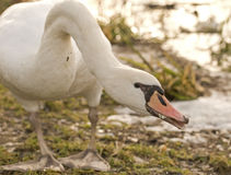 Winter atmosphere. Swans usually mate for life, though 'divorce' does sometimes occur, particularly following nesting failure Stock Photography