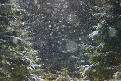 Winter atmosphere. Pine tree forest with snow falling, calm winter atmosphere stock photos