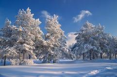 In winter attire. Pine in winter plumage in Irkutsk in Eastern Siberia Royalty Free Stock Image