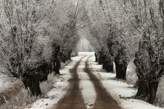 Winter avenue of willows. A Walk Down The Avenue of Willows Stock Photo