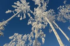 Winter Bäume bedeckt mit Reif Stockfoto
