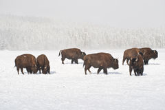 Winter-Büffel-Herde Lizenzfreies Stockbild