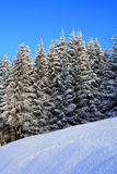 Winter background 03. Winter composition with pine threes covered in fresh snow. Even light diffused by a thin layer of coulds, while clear blue sky in the Royalty Free Stock Photography
