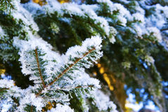 Winter background. Snow covered spruce branch for winter background stock image
