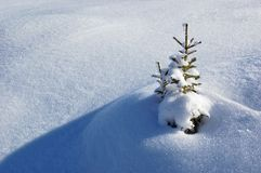 Winter background. A little fir-tree is in snow-drifts. A picture is done in mountains Carpathians, Ukraine royalty free stock photography