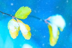 Winter background. Artistic image of yellow autumn leaves with snow on a blue background with snowflakes. Blurred romantic light b Royalty Free Stock Photos