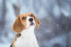 Winter Background with Beagle dog looking up. Winter Background with cute Beagle dog looking up Royalty Free Stock Image