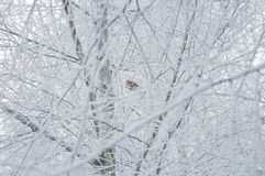 Winter background - bird on a white frosty tree Stock Photography