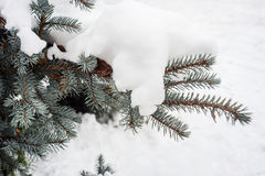 Winter background for blue fir cones and needles. Royalty Free Stock Photo