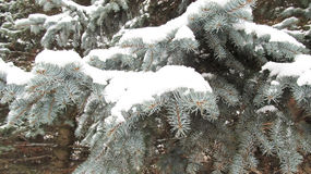 Winter background of blue pine trees Stock Photo