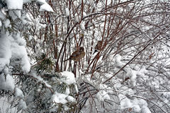 Winter background. With branches covered in snow and sparows upon them Stock Image