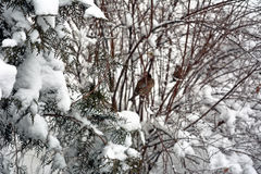 Winter background. With branches covered in snow and sparows upon them stock images