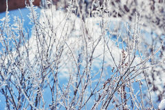 Winter background. Branches in frost and snow. Branches in frost and blue snow Royalty Free Stock Photo