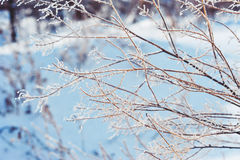 Winter background. Branches in frost and snow. Branches in frost and blue snow Stock Image