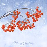 Winter background with  branches rowan berry Royalty Free Stock Images