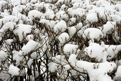 Winter background. branches in the snow. Stock Images