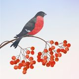 Winter background with bullfinch. Winter card  with bullfinch on a branch of rowan Royalty Free Stock Images
