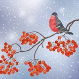 Winter background with bullfinch. Winter card  with bullfinch on a branch of rowan Stock Photography