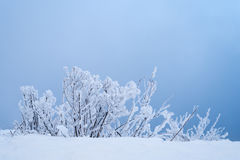 Winter background with bushes in blue Royalty Free Stock Photography