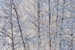 Winter background of bushes and trees in birchwood Stock Photo