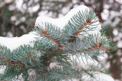 Winter background, close up of frosted pine branch. Covered with snow royalty free stock photos