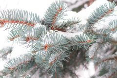 Winter background, close up of frosted pine branch. Covered with snow royalty free stock image