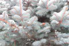 Winter background, close up of frosted pine branch. Covered with snow stock photos