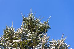 Winter background, close up of frosted pine branch. Covered with snow royalty free stock images